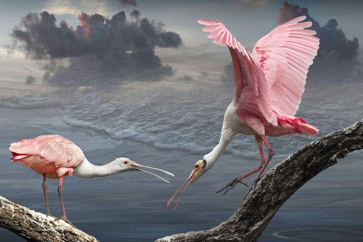 Spatules rosées  Ces deux oiseaux ont été photographiés à St. Augustine's Farm en Floride. C'est là qu'ils ...