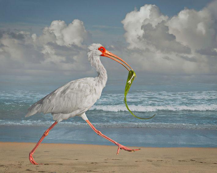 Ibis blanc avec un poisson   Cet ibis blanc portant dans son bec un poisson et des ...