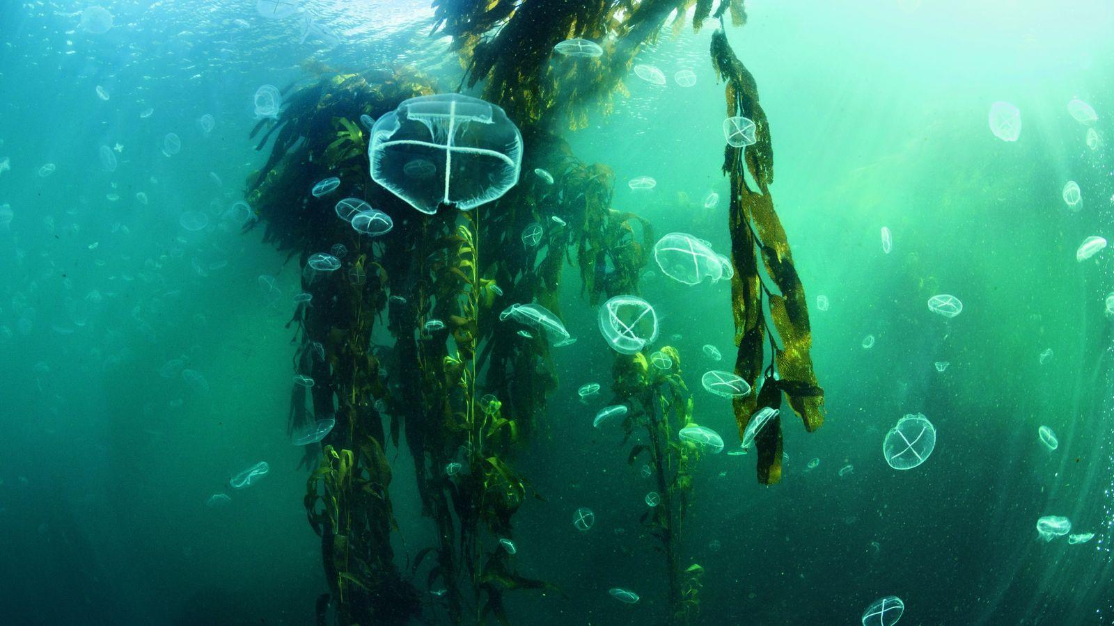 Des méduses flottent parmi les frondaisons d'une forêt de kelp, au large de l'île des États, ...