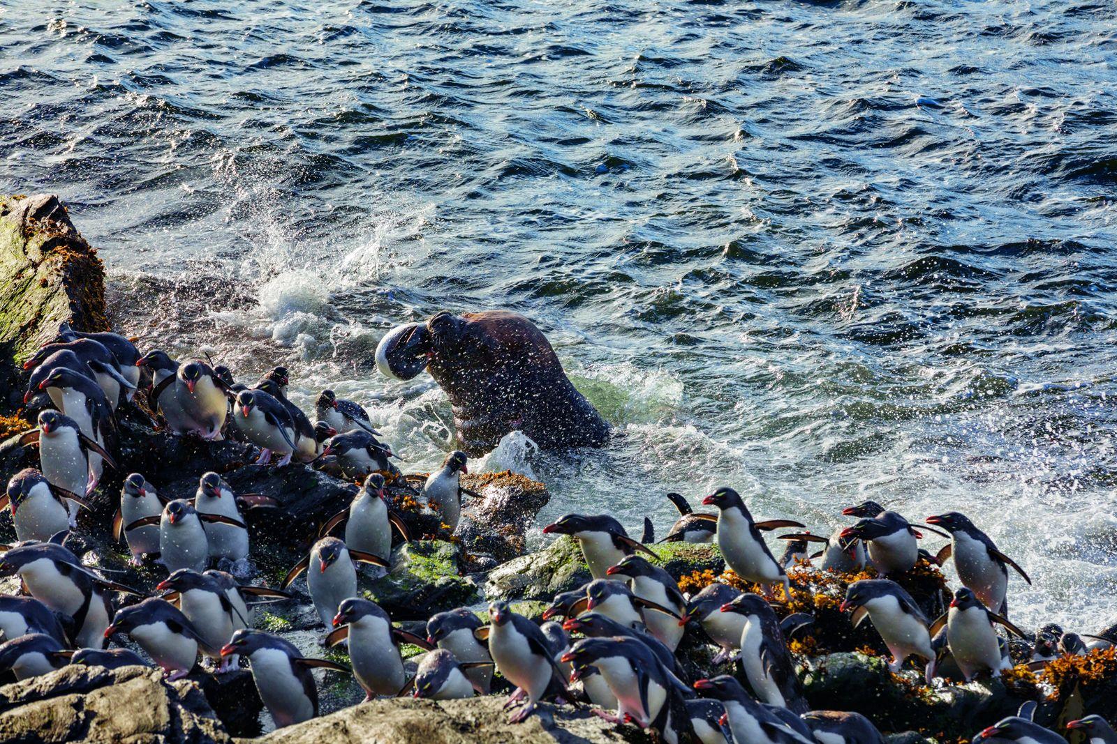 Surgissant du ressac, une otarie à crinière mâle attrape un gorfou sauteur à l'île des États. ...