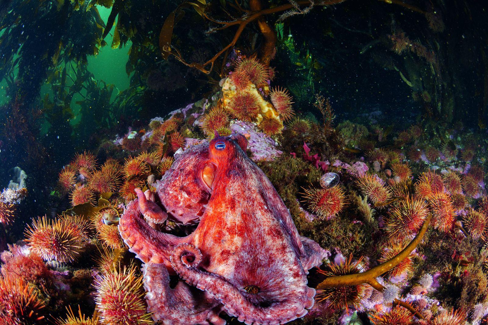 Au large de l'île des États, un poulpe géant de Patagonie repose sur un lit d'oursins. ...
