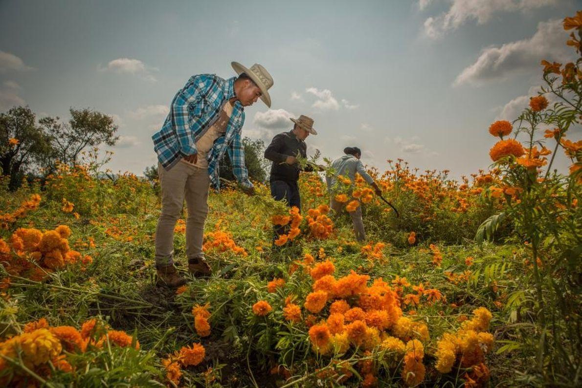 La veille de la fête des morts, dans un champ situé en bordure de Huaquechula, des ...