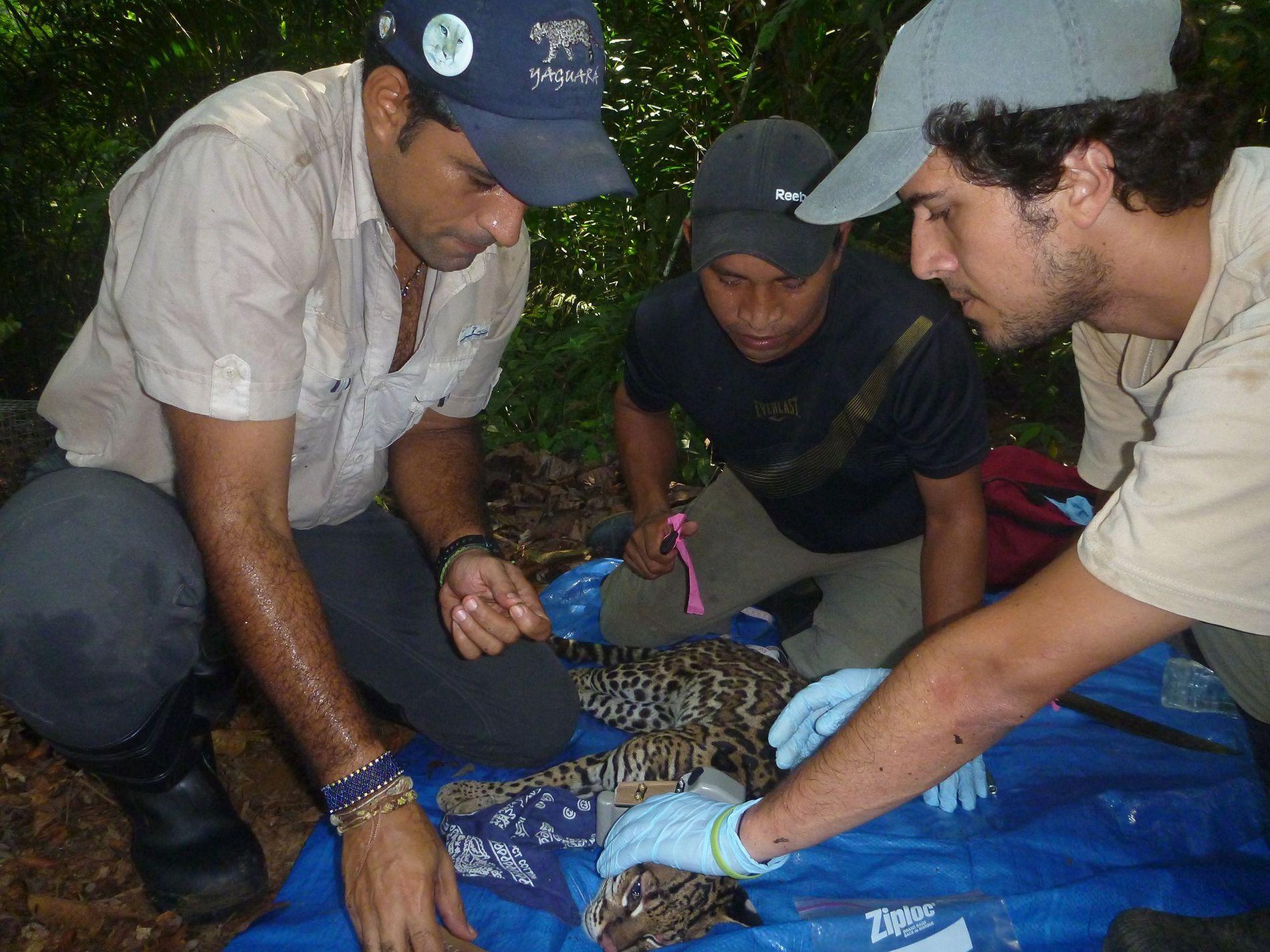 Ricardo Moreno (à gauche) pose un collier GPS sur un ocelot, dans le parc national de la Soberanía, au Panama.