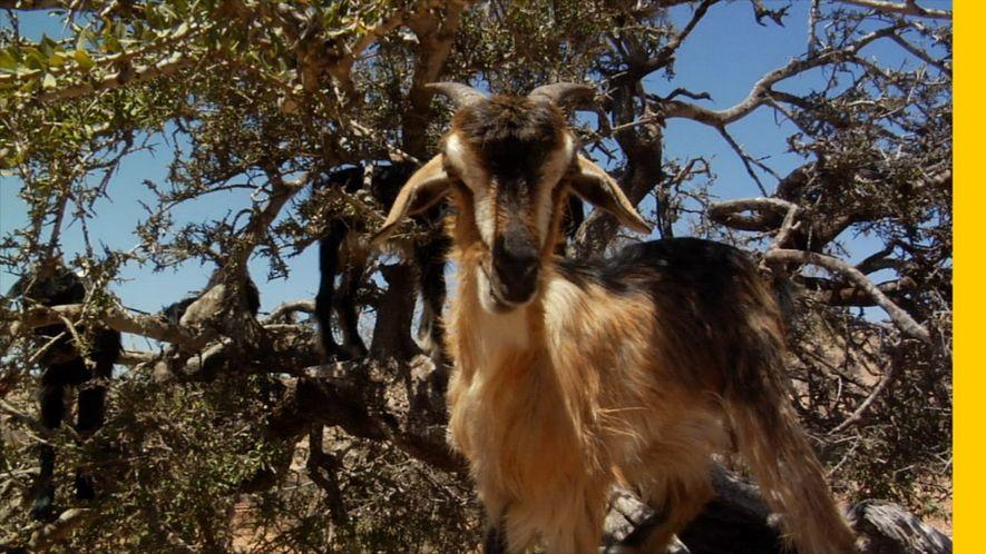 Les chèvres qui grimpent aux arbres marocains