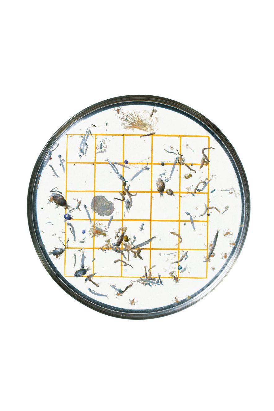 Une grille aux carrés de 1 cm de côté tracée sur une boîte de Petri aide un technicien de la NOAA à échantillonner et à identifier des organismes minuscules, tels que la larve de sergent-major (à gauche, juste à côté de la rangée du milieu).