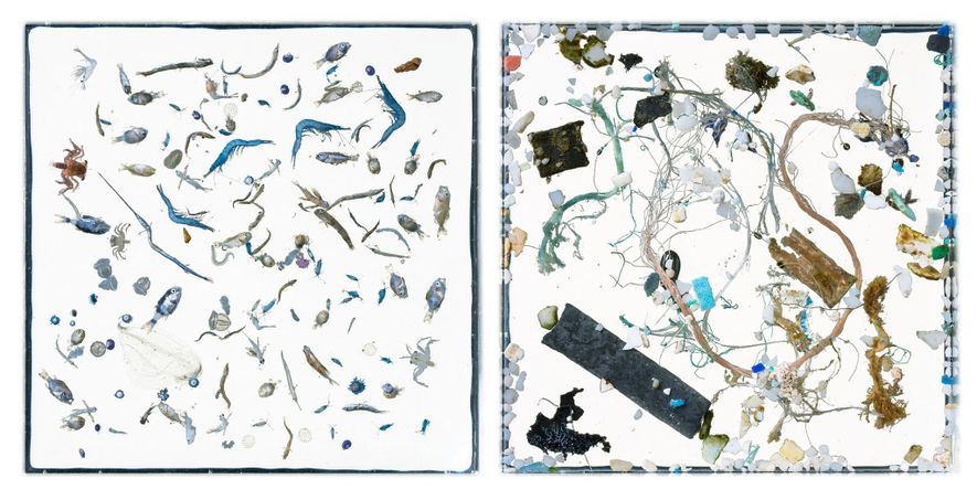 Au large d'Hawaii, en huit minutes, le filet des scientifiques de la NOAA ramasse nombre d'organismes vivants (à gauche) et une pléthore de morceaux de plastique (à droite). En laboratoire, les pinces d'un technicien sépareront les êtres vivants et les plastiques agglomérés par les courants au sein de la nappe huileuse. Un programme informatique répertorie et mesure chaque morceau de plastique. Le technicien identifie les organismes vivants au microscope.