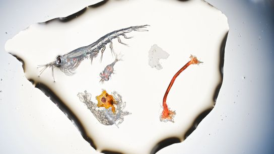 Cette grande cuillerée d'eau issue de la Manche contient : un krill d'environ 8 mm, un ...