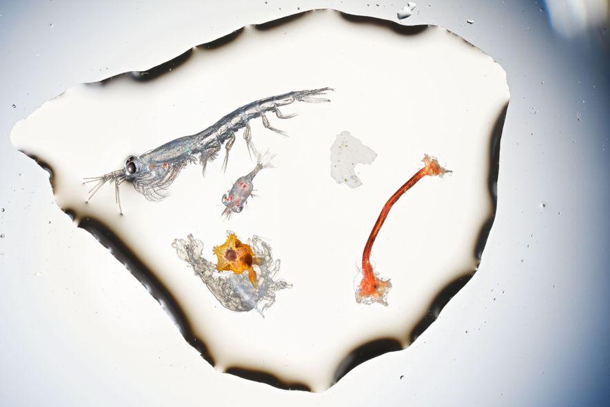 Cette grande cuillerée d'eau issue de la Manche contient : un krill d'environ 8 mm, un crustacé décapode et une étoile de mer orange à peine extraite de la membrane de sa larve. Sur la droite : un fragment blanc et une fibre rouge effilochée de polyéthylène, qu'un alevin pourrait prendre pour de la nourriture. 3 % des larves de poisson prélevées en 2017 pour une étude par des chercheurs du Laboratoire marin et de l'université de Plymouth avaient ingéré des fibres de plastiques.
