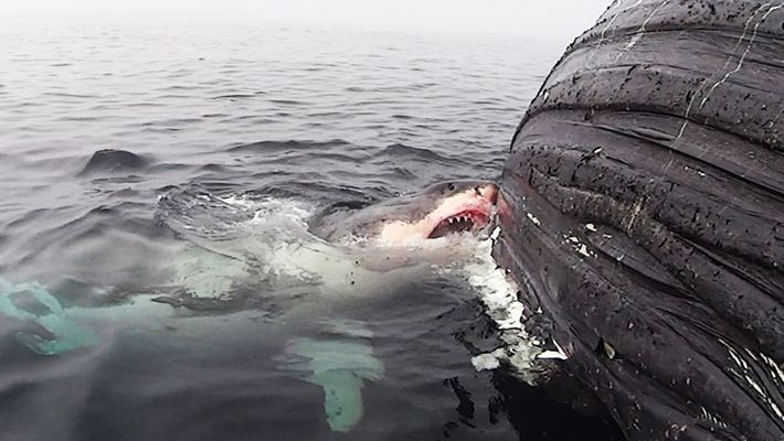 Un grand requin blanc se nourrit d'une baleine morte