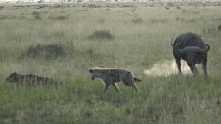 Des buffles protègent un veau attaqué par une hyène
