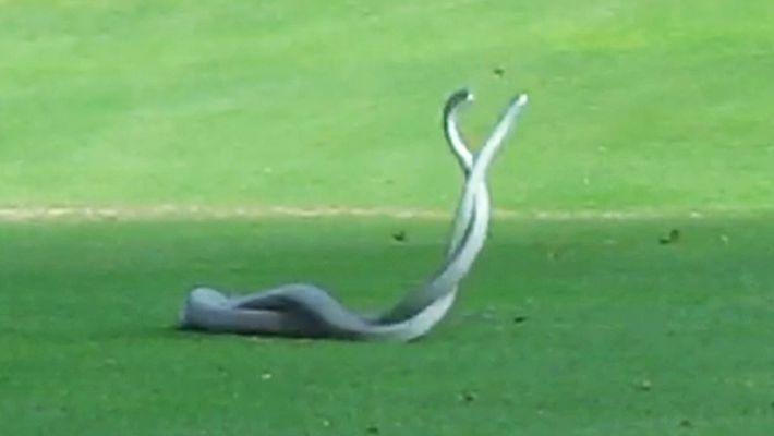 Deux mambas noirs se battent sur un terrain de golf