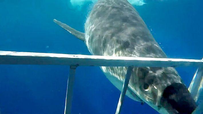Comment un grand requin blanc s'est retrouvé sur un bateau de pêche