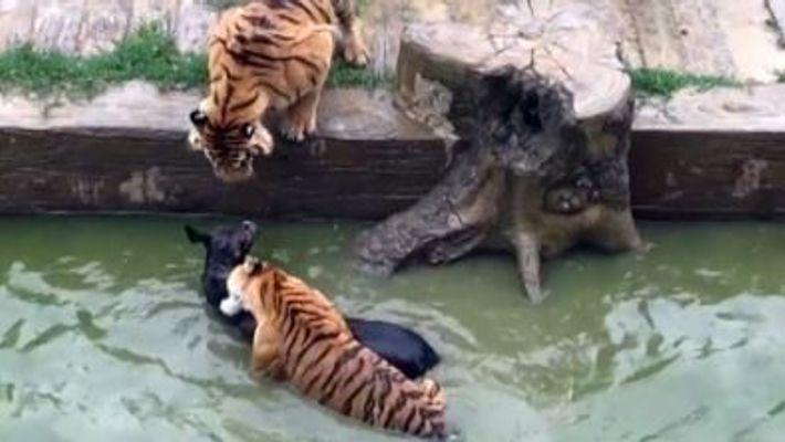 Dans un zoo chinois, un âne est jeté vivant aux tigres
