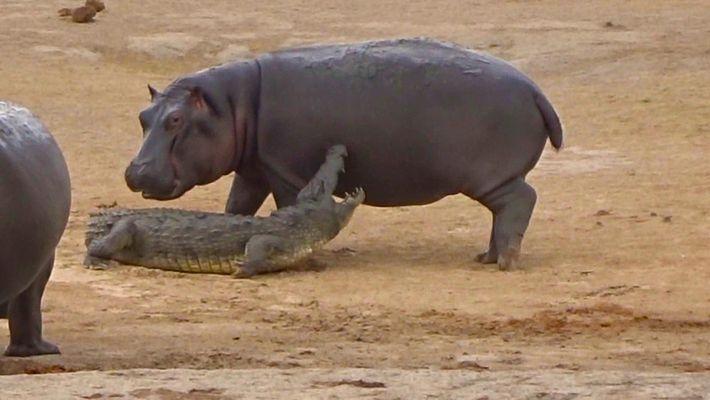 Un jeune hippopotame s'amuse avec un crocodile