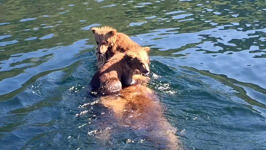 Des adorables oursons traversent la rivière sur le dos de leur mère
