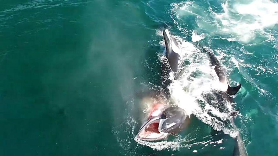 Des orques chassent une baleine