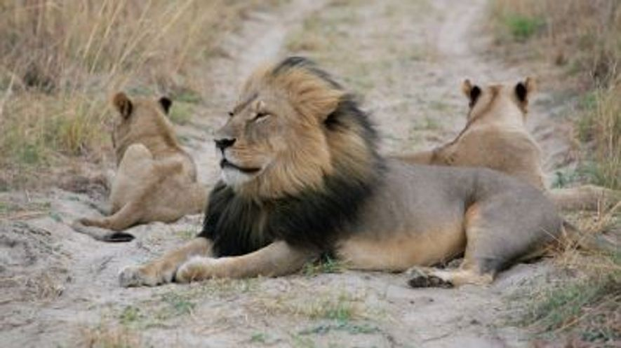 Le fils de Cecil le lion également tué par un chasseur de trophées.