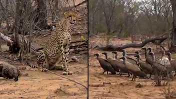 Des vautours encerclent un guépard pour subtiliser son dîner