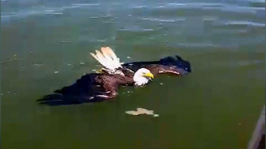 Une famille sauve un aigle chauve tombé dans l'eau