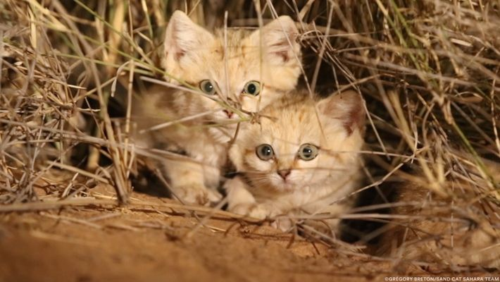 Des chats des sables filmés à l'état sauvage pour la première fois