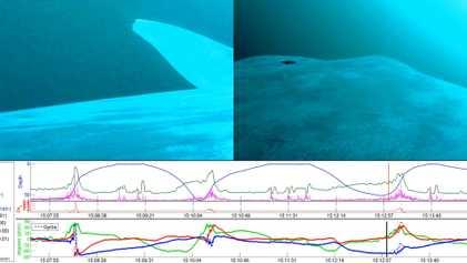 La plupart des baleines bleues sont ''gauchères''