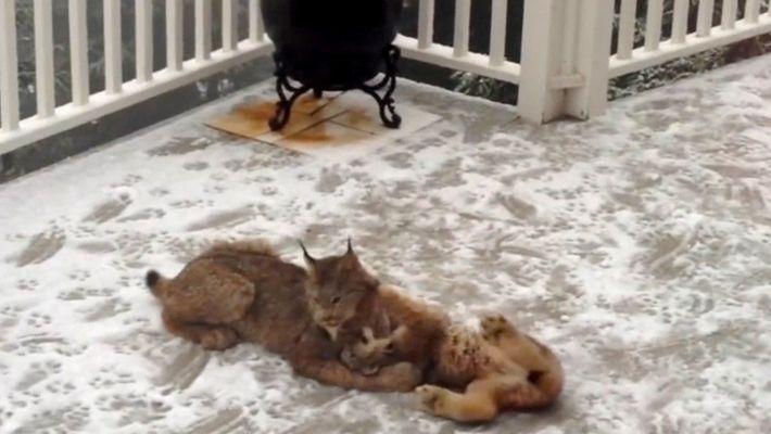 Vidéo : une maman lynx et ses petits jouent dans la neige