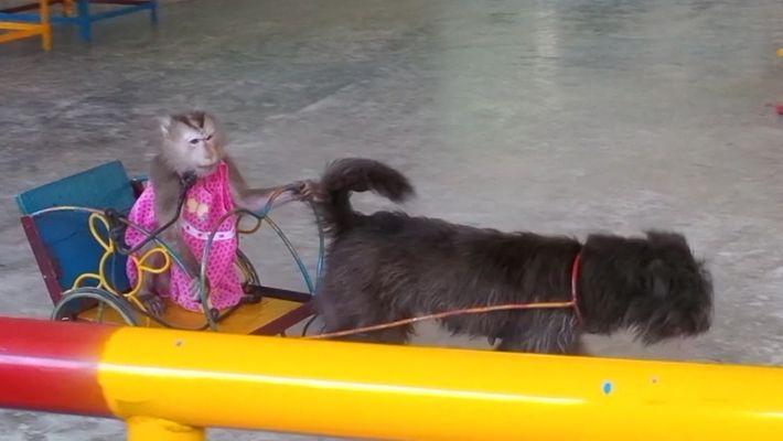 Dans cette réserve naturelle, les singes sont obligés de se donner en spectacle