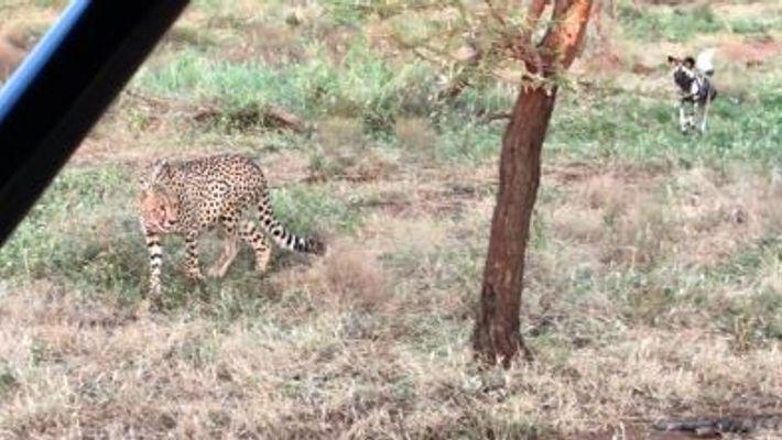 Chiens sauvages vs. guépards