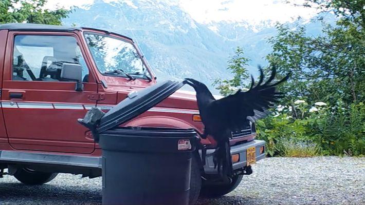 Un corbeau malicieux se régale de restes