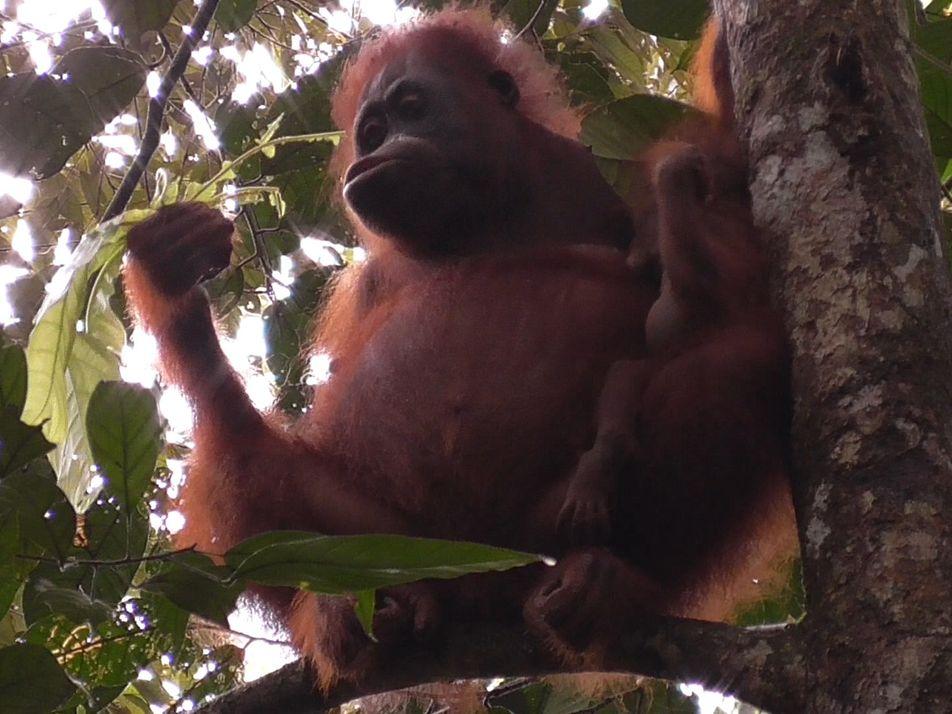 Découverte : l'orang-outan est le primate qui allaite le plus longtemps