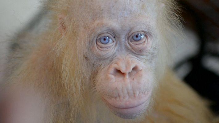 Une rare orang-outang albinos sauvée et remise en liberté