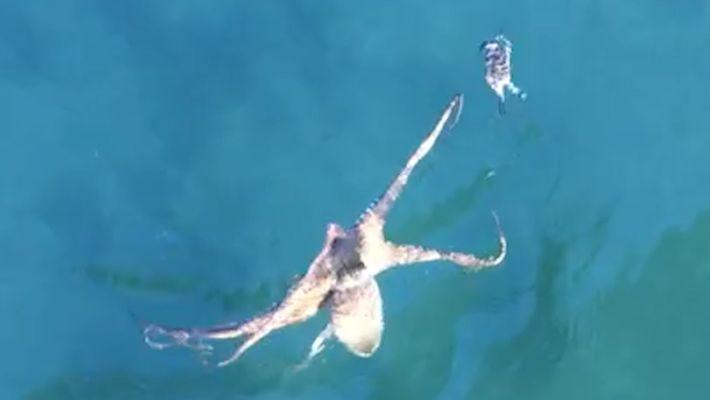 Un poulpe poursuit un crabe dans une danse hypnotisante