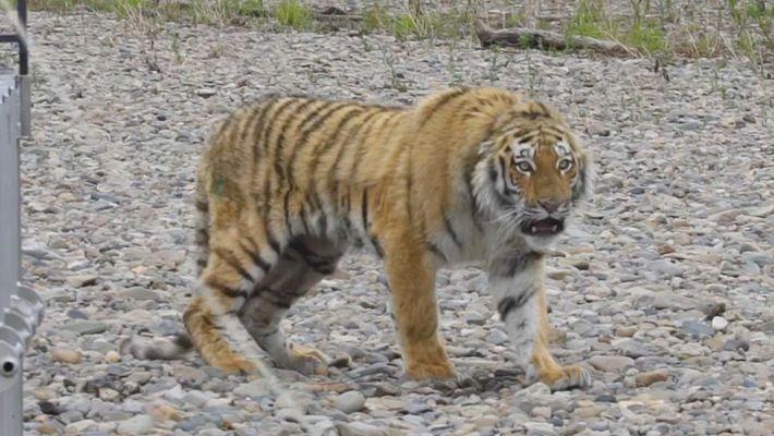 Vladik, le tigre de Sibérie relâché dans la nature.