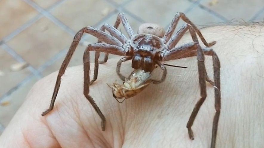 Une araignée géante dévore un criquet