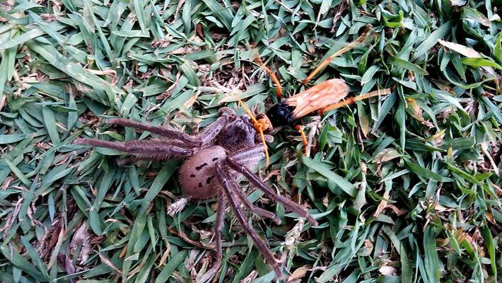 Une guêpe paralyse une araignée - Mais le combat ne s'arrête pas là