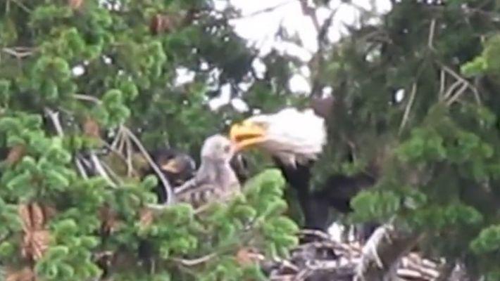 D'ordinaire ennemis, un aigle chauve adopte une buse à queue rousse