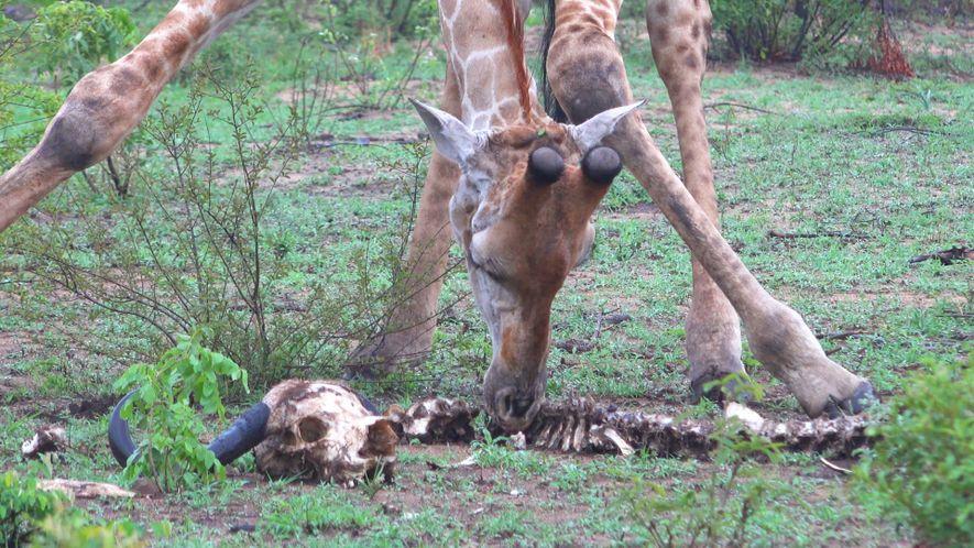 Les girafes se nourrissent (aussi) d'os