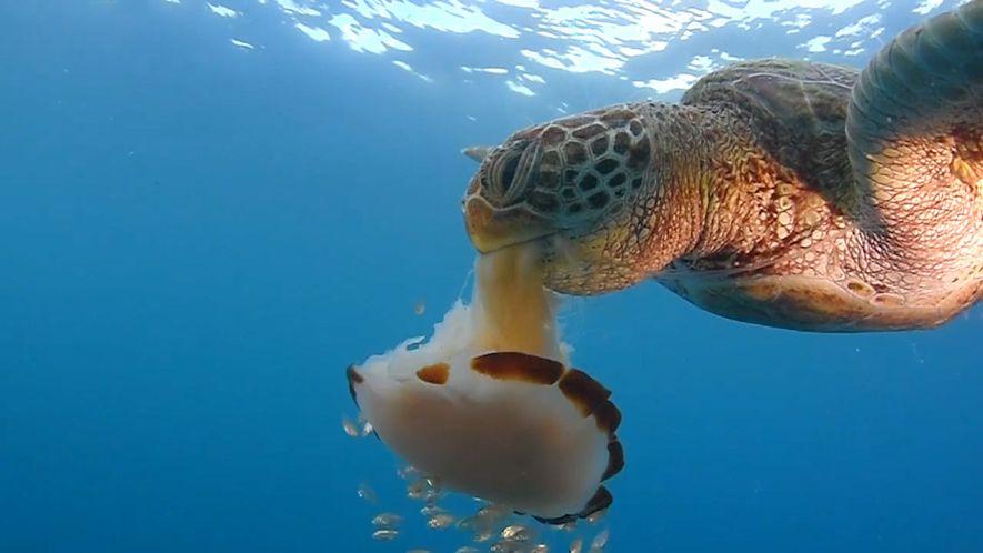 Une tortue de mer dévore une méduse