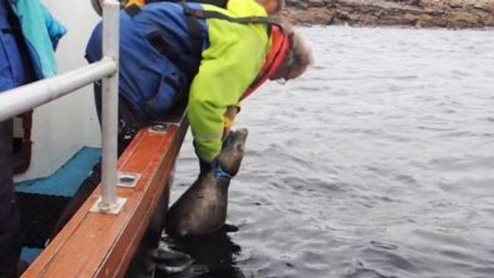À voir : des sauveteurs ont libéré un phoque piégé par un filet de pêche