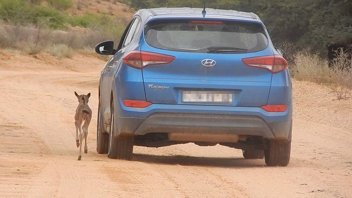 Un bébé gnou prend une voiture pour sa mère