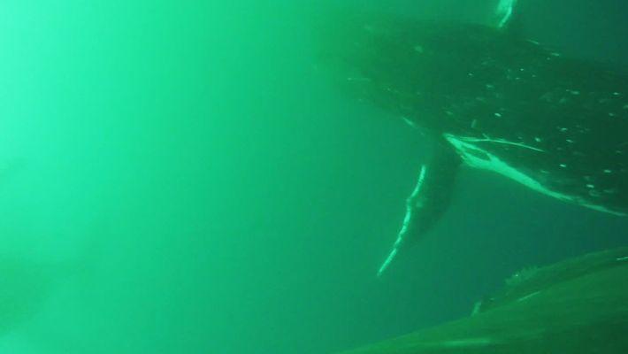 Les baleines battent des nageoires comme peuvent le faire les oiseaux