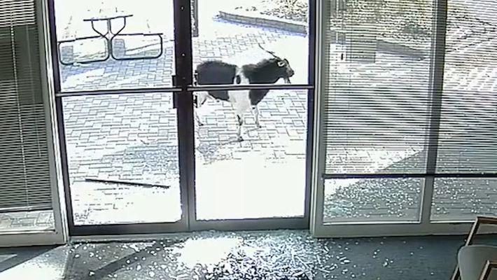 Cette chèvre vandalise une entreprise et fuit la scène du crime