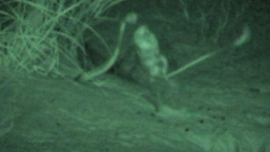 Un rat échappe à l'attaque d'un serpent en 100 millisecondes