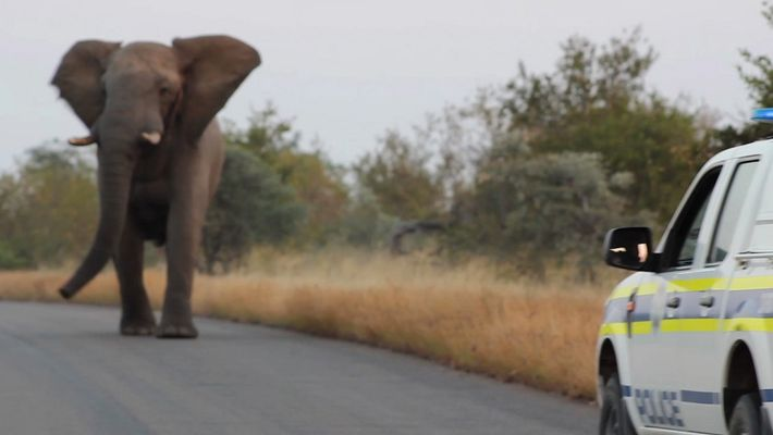 Cet éléphant à la charge est-il en train de jouer ?