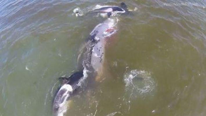 Des orques coopèrent pour abattre une baleine dans une vidéo rare