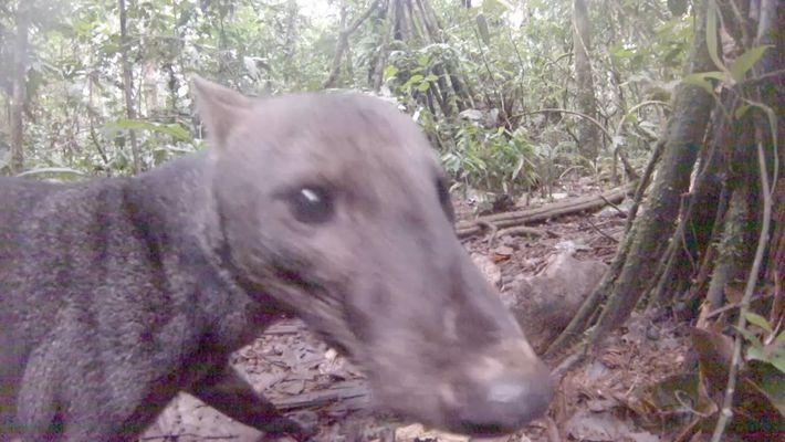 Rare : Un chien des buissons aux oreilles courtes