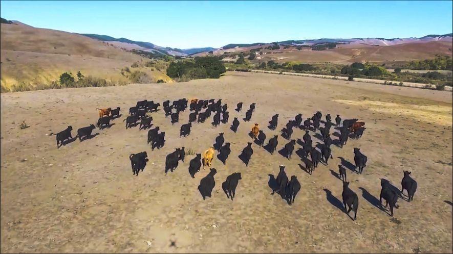 Un drone 'garde' un troupeau de vaches