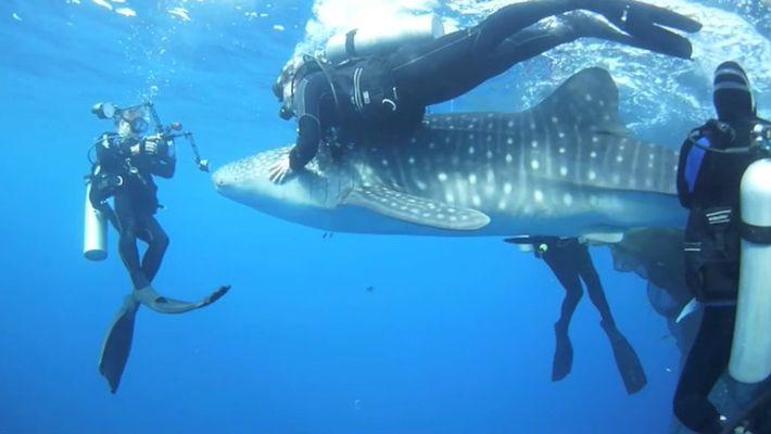 Des plongeurs sauvent des requins-baleines