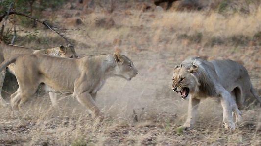 Ce lion est rejeté par la meute