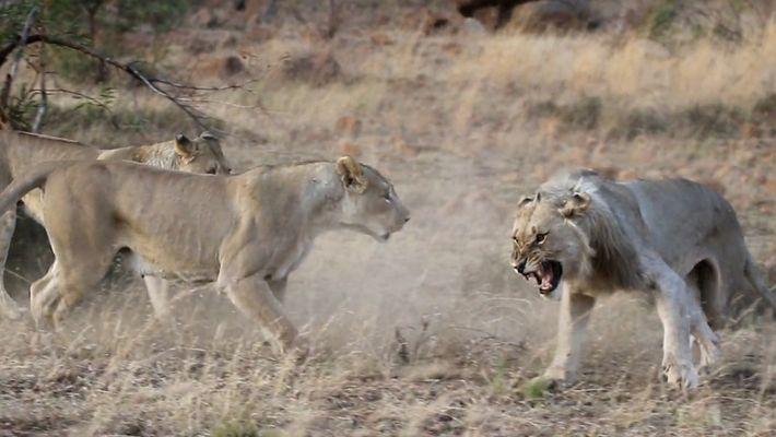 Ces lions sont rejeutés de la meute